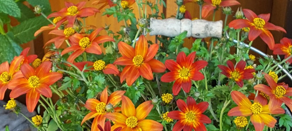 Sommerblumen Gasthaus Jägerstüble Oberharmersbach